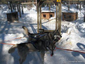 מזחלות כלבים לפלנד