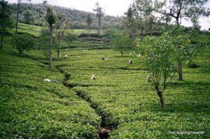 שדות תה סרי לנקה