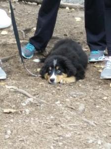 Swiss mountain dog puppy
