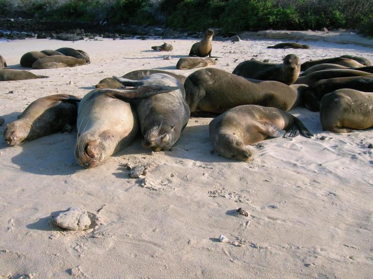 אריות ים גלפגוס