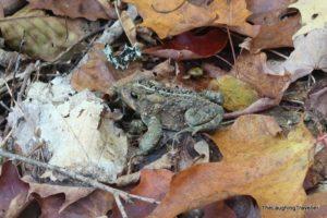 צפרדע בצבעי הסוואה