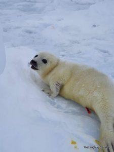 כלבי ים קוויבק