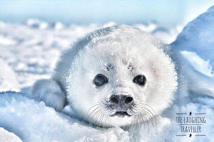 הרצאה כלבי ים לבנים