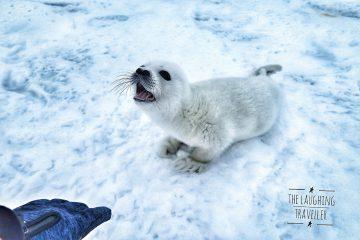כל מה שרציתם לדעת על כלבי ים לבנים והתביישתם לשאול
