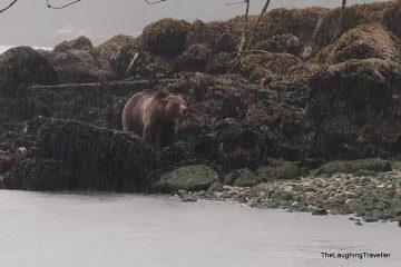 טלגרף קוב – דובי גריזלי ואורקות בצפון ונקובר איילנד