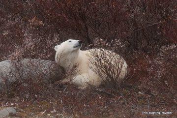 השפעת ההתחממות הגלובלית על דובי הקוטב