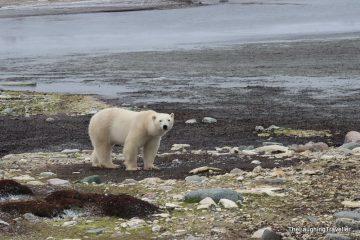 צ'רצ'יל – בירת דובי הקוטב של העולם